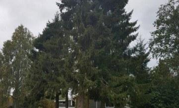 drzewo Swierk
