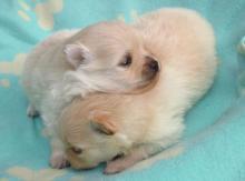 Pomeranian, szpic miniaturowy - kremowe/ śmietankowe maluchy